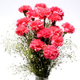 Tickled Pinks , Carnations